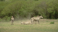 Stock Video Footage of Zebra P2