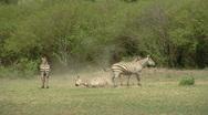 Stock Video Footage of Zebra P2