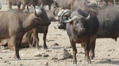 African buffalos Stock Footage