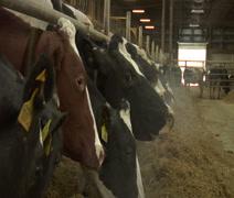 Cows in barn feeding Stock Footage