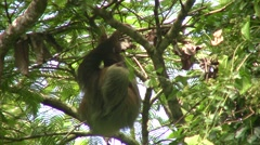 Sloth cruising through the trees - stock footage