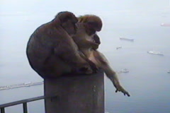 Gibraltar monkeys, harbor on the background, exclusive on Pond5 Stock Footage