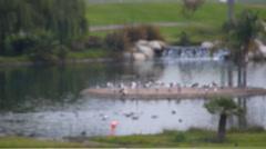 Wildlife area - flamingo and gulls - stock footage