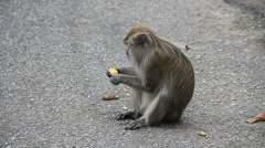 Macaque Monkey Eating Fruit in Malaysia Stock Footage