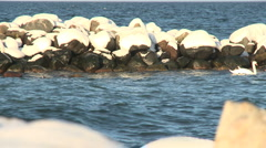 Mute swan,Cygnus olor on the Baltic sea during winter Stock Footage