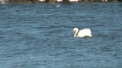 Mute swan, Cygnus olor on the Baltic sea during winter Stock Footage