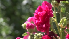 Hollyhock pink Stock Footage