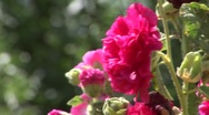 Stock Video Footage of hollyhock pink