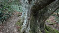 Walking around old beech tree in Cornwall, UK Stock Footage