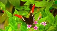 Stock Video Footage of Butterfly on flower (Siproeta Epaphus)