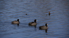 Coots Stock Footage