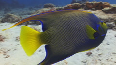 Queen Angelfish Cozumel Stock Footage
