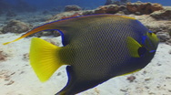 Stock Video Footage of Queen Angelfish Cozumel