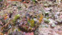Scorpionfish Camouflaged - stock footage