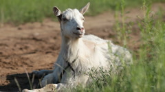 Goat Stock Footage