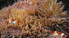 False Clown Anemonefish in Magnificent Sea Anemone Stock Footage