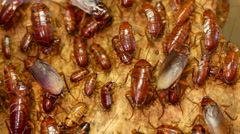 Cockroaches - stock footage