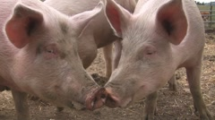 Happy pigs squeaking for food - stock footage