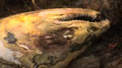 Dead Salmon close up Stock Footage