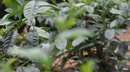 Stock Video Footage of Tea leafs close up at Tea plantation, Sri Lanka