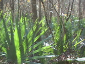 Stock Video Footage of Palmetto Swamp Lost