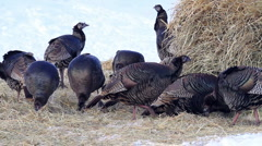 Turkey flock scratching ground winter P HD Stock Footage