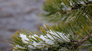 Stock Video Footage of Conifer Needles