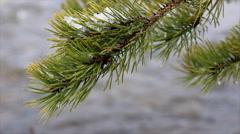 Conifer Needles Stock Footage