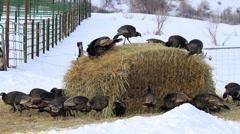 Wild turkey flock on hay stack P HD 8120 Stock Footage
