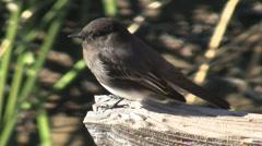Black Phoebe In Marsh Stock Footage