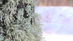 Lichen growing on a tree stem Stock Footage