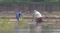 Laborers Working In Wet Rice Field In Thailand Stock Footage
