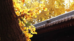 Maidenhair tree and chinese building Stock Footage