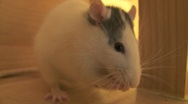 Stock Video Footage of rat cleaning up sequence
