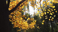 Autumnal maidenhair tree Stock Footage