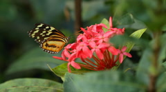 Tiger Longwing Butterfly Stock Footage