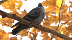 Dove on bare branch - stock footage