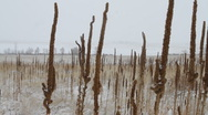 Stock Video Footage of Cat Tails in a Snowstorm