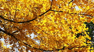 Stock Video Footage of autumnal maidenhair tree