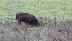 European bison Stock Footage