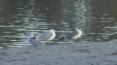 P01328 Ring-billed Gulls Stock Footage