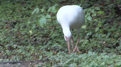 P01329 White Ibis Feeding Stock Footage