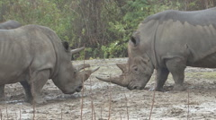 P01335 Rhinoceros Standoff Stock Footage