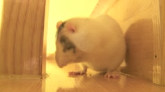 rat cleaning up sequence  Stock Footage
