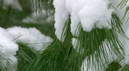 Pine branch covered in snow  Stock Footage
