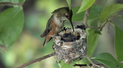 Feeding Hummingbird babies -02 Stock Footage