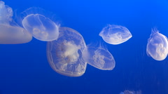 Small Group of White Jellyfish Stock Footage