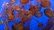 Stock Video Footage of Large group of Red Jellyfish