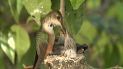 Feeding Hummingbird babies -05 Stock Footage