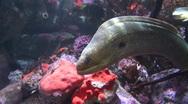 Stock Video Footage of California moray eel